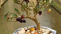 Olivovník v podobě bonsaje.