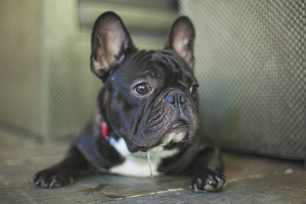 Francouzský buldoček - tato linie psů menšího vzrůstu je velmi společenská.