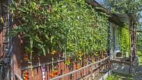 Rajčata tyčkových odrůd rostou do výšky. Pěstování u stěny jim svědčí.