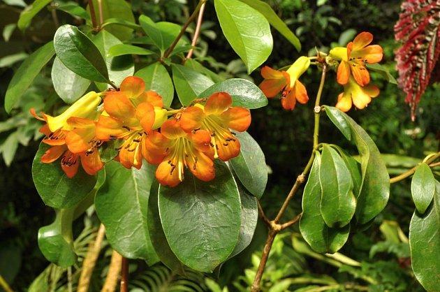 Jeden z právě kvetoucích tropických rododendronů - Rhododendron christianae
