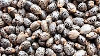 Semena skočce jsou smrtelně jedovatá.