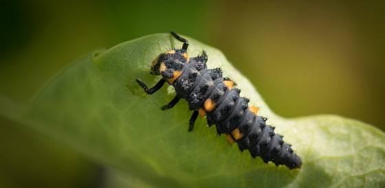 larva slunéčka neboli berušky