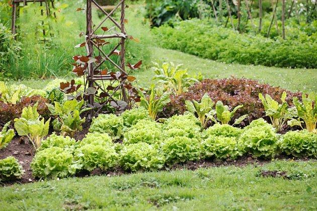 Zeleninový záhon se saláty, mangoldy a fazolemi je užitečný i pohledný