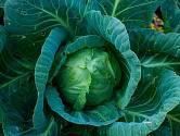Pěstování zelí v bedýnkách nebo květináčích je snadné