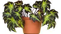 Begonie královská (Begonia rex)