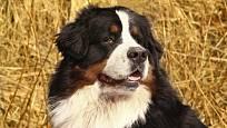 Bernský salašnický pes zaujme na první pohled.