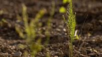 Dvouletá rostlina chřestu časně na jaře.