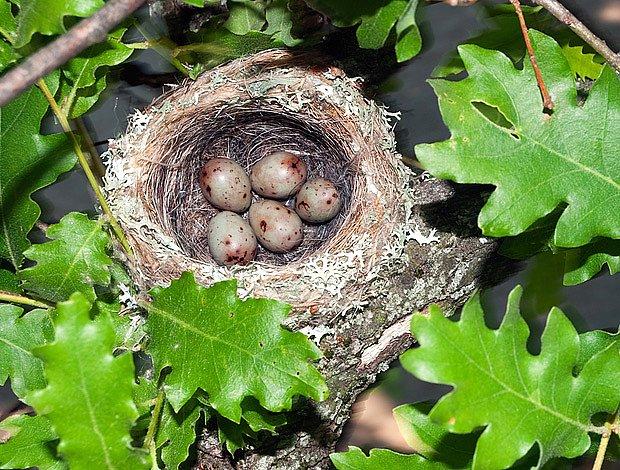 hnízdo pěnkavy