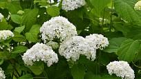 Hortenzie stromkovitá - Hydrangea arborescens.