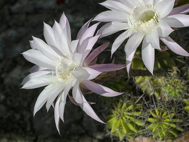 kaktus Echinopsis eyriesii