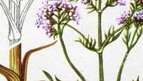 Kozlík lékařský (Valeriana officinalis)