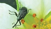 květopas jahodníkový (Anthonomus rubi), brouk z čeledi nosatců