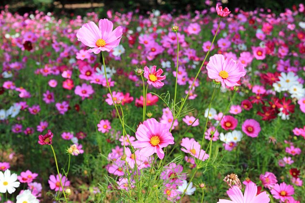 Krásenky snadno vytvoří zapojený porost