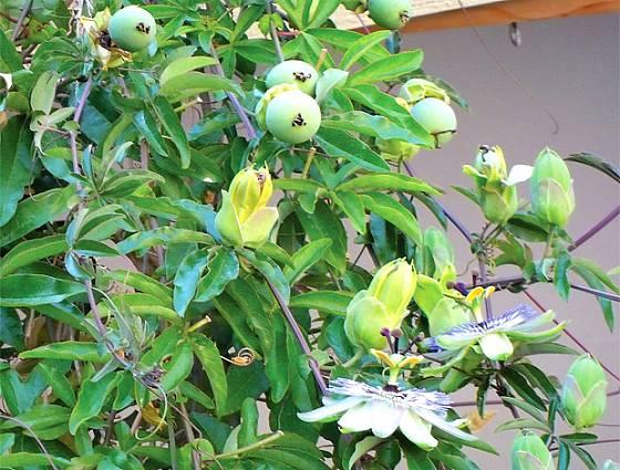 květy a nezralé plody mučenky