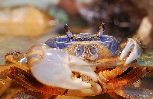 Krabi rodu Cardisoma jsou doma na souši i ve vodě