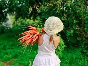 Sklizeň mnohé kořenové zeleniny je pro každého zahrádkáře vždy tak trochu tajemstvím.