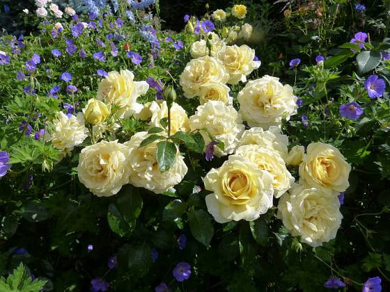 Růže odrůdy Winter Sun