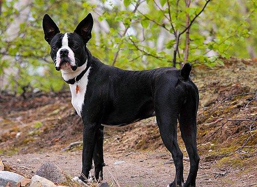 bostonský terier