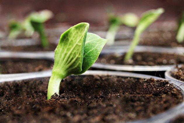 Z velkých semen dýní vyklíčí a vyrostou mohutné rostliny