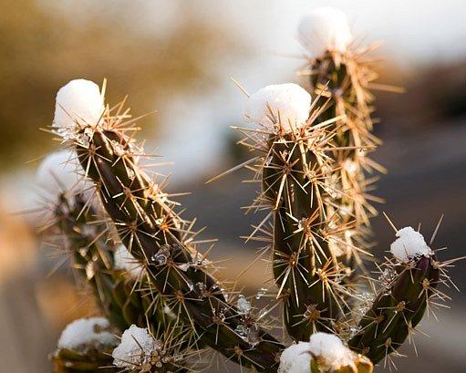 Kaktusy v zimě