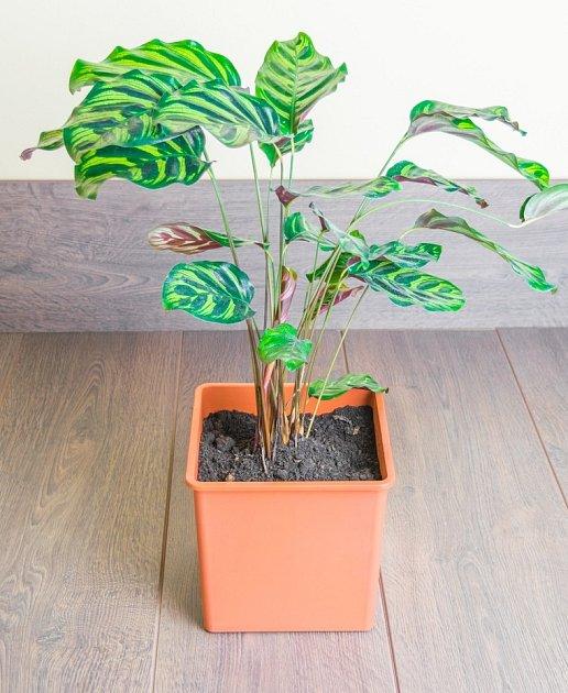 Kalátea (Calathea makoyana)