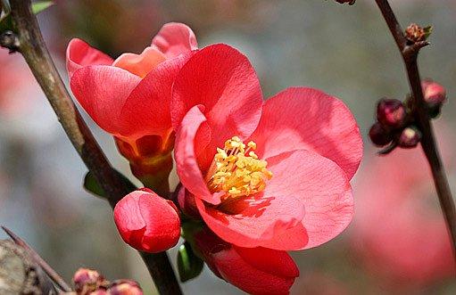Kdouloň podlouhlá - květy