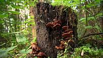 Lesklokorka vyrůstá na kmenech či pařezech listnatých dřevin