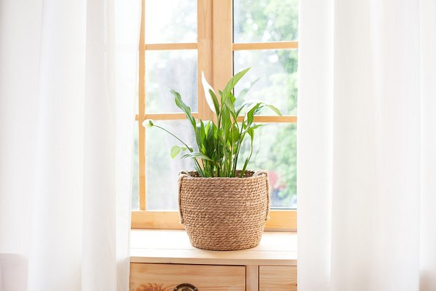 V zajímavém dekoračním obalu se lopatkovec stane poutavým dekoračním předmětem v každém interiéru.
