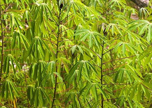 jak roste maniok