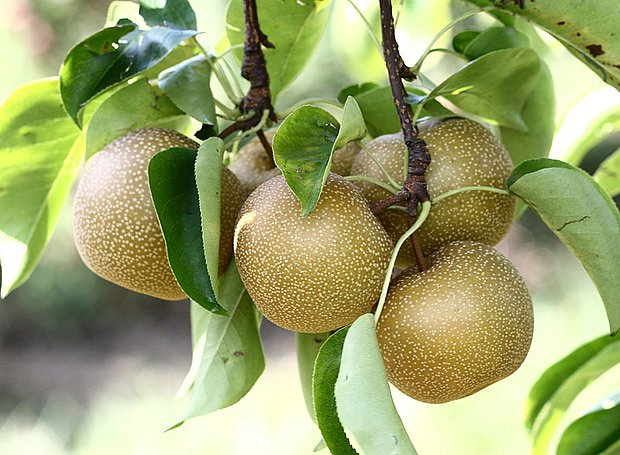 Nashi hrušně patří do čeledi růžovitých (Rosaceae)