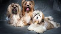 Lhasa apso - pes malého vzrůstu chránící svou rodinu - ideální bytové plemeno.