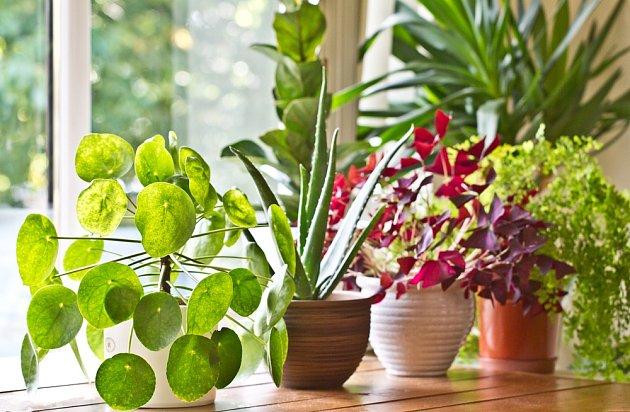 Pokojovky můžeme vybírat nejen podle tvaru, ale i barvy listů.