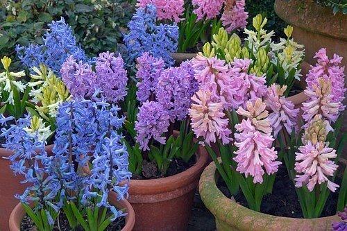 K rychlení jsou vhodné především narcisy, hyacinty, tulipány, modřence, krokusy a i drobné cibuloviny jako ladoňky, bledule či sněženky.
