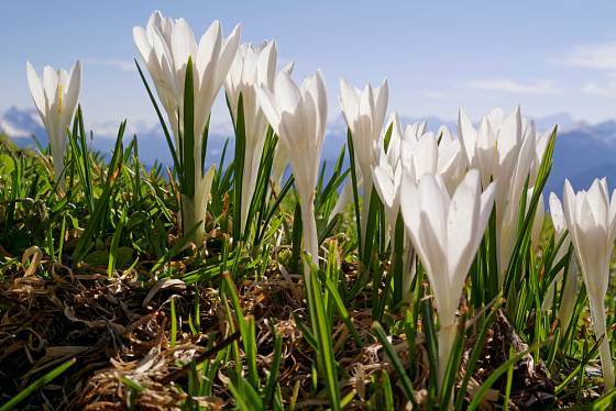 šafrán bílý (Crocus albiflorus)