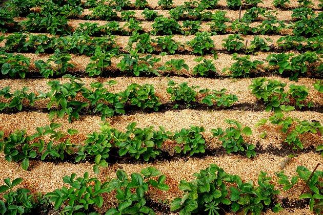 Piliny jsou skvělé pod jahody a tykvovité rostliny, protože jim dělají skvělou ochranu před plísněmi a hnilobami.