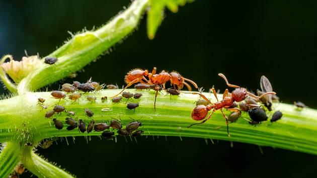 Mravenci mohou vaši zahradu doslova vysát.