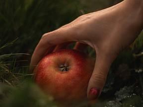 Padaná jablka je potřeba rychle zpracovat.