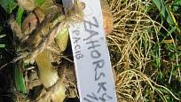 Sklizenou odrůdu si vždy označíme jmenovkou