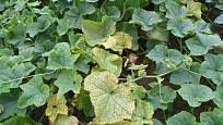 Listy napadené sviluškou je třeba ihned odstranit