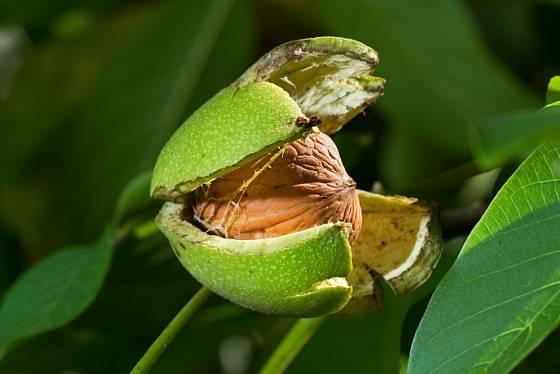 Oplodí zralých ořechů puká samo, což nám usnadňuje sklizeň