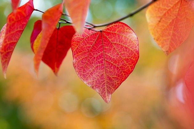 Listy zmarliky kanadské (Cercis canadensis) ve svém podzimním zbarvení.