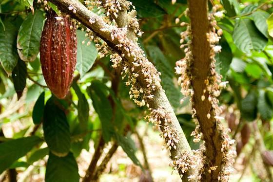 Kmen kakaovníku obalený květy, s jedním již zralým plodem