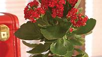 kolopejka (Kalanchoe blossfeldiana)
