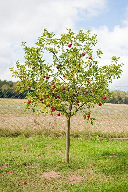 Ovocné stromky plodí velmi brzy