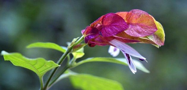 detail květu mrštilky skvrnité
