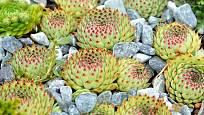 Netřesky jsou zcela nenáročné a velmi pohledné rostliny vhodné na skalku