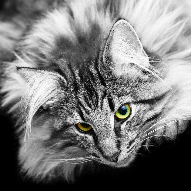 Norská kočka je krasavice.