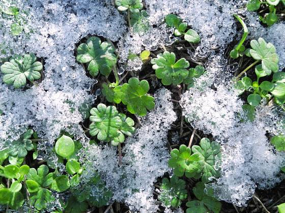 Aromatický a jedlý popenec se zelená i pod sněhovou přikrývkou