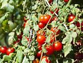 Rajčata v žádném případě nepatří mezi suchomilné rostliny, naopak vyžadují hojnou a pravidelnou zálivku.