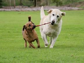 Labrador se přetahuje s teriérem.
